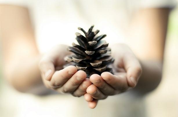 Pomme de pin —  сосновая шишка происходит из леса Ланды на юго-западе Франции.