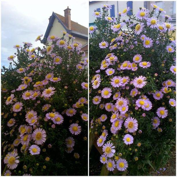 Астра, или цветочные созвездия в  саду...
